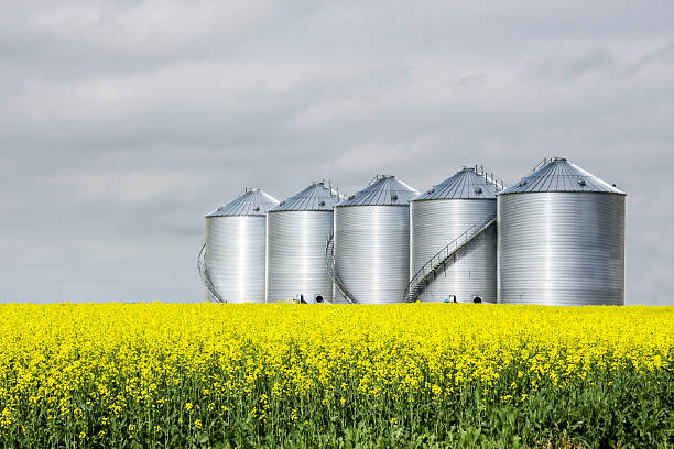 five steel grain bins sitting in canola field. horizontal image of five round steel grain bins sitting in a yellow canola field under a very cloudy sky in the summer. canola stock pictures, royalty-free photos & images