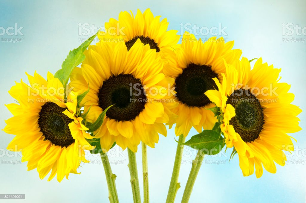 Five sunflowers stock photo
