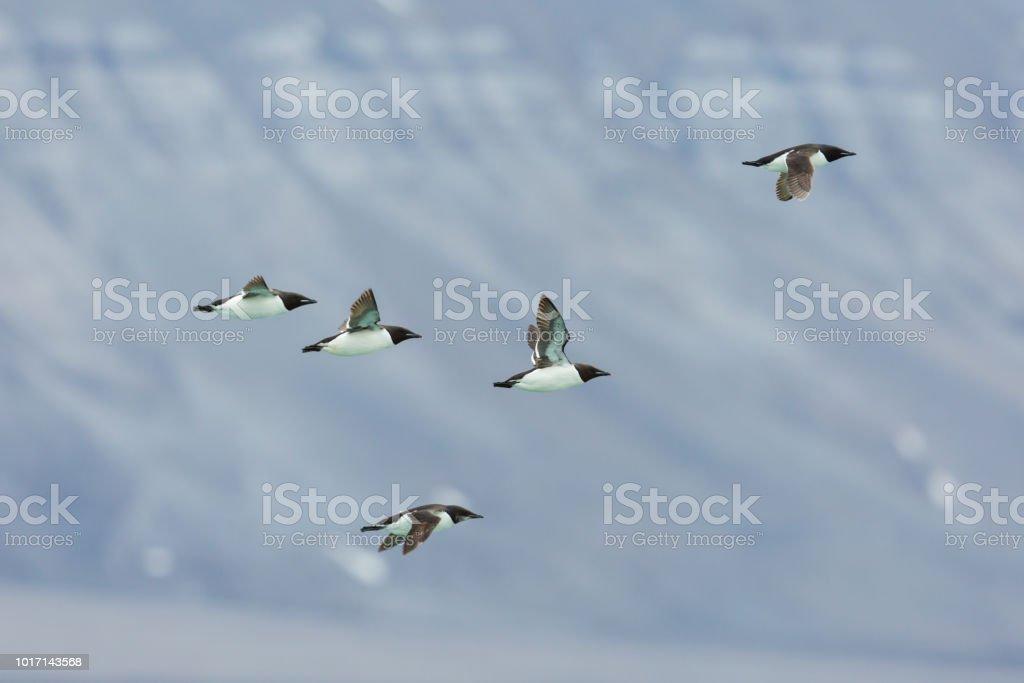 fünf Dicke-billed Murre Vögel (Uria Lomvia) im Flug – Foto