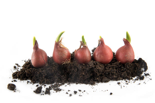 five tulip bulbs with sprouts growing in potting soil isolated with small shadow on a white background, concept gardening for spring planting, copy space five tulip bulbs with sprouts growing in potting soil isolated with small shadow on a white background, concept gardening for spring planting, copy space, selected focus plant bulb stock pictures, royalty-free photos & images
