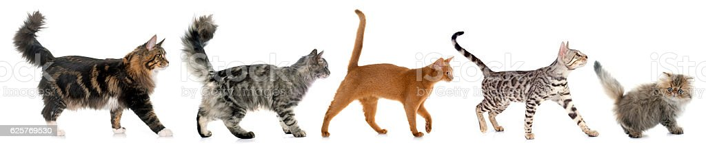 five walking cats stock photo