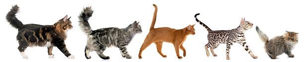 five walking cats stock photo