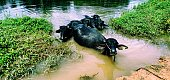 five water buffalos lie in the lake to protect themselves from annoying insects and to cool off from the midday heat.a view from kerala india