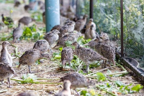 five weeks old pheasants on the farm stock photo