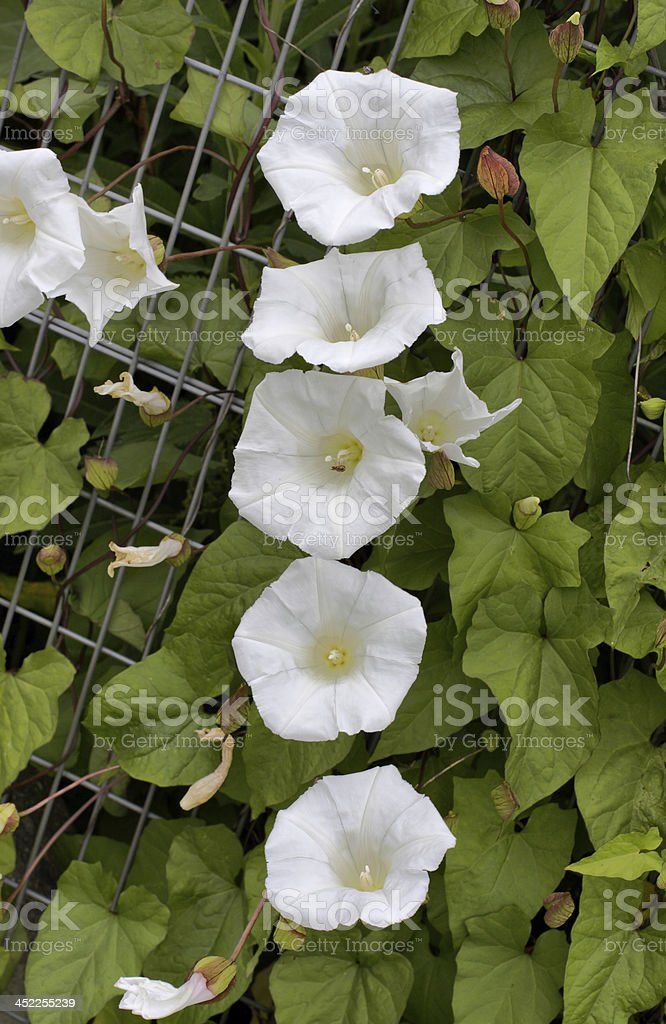 Five white flowers of great bindweed Convolvulus silvatica stock photo