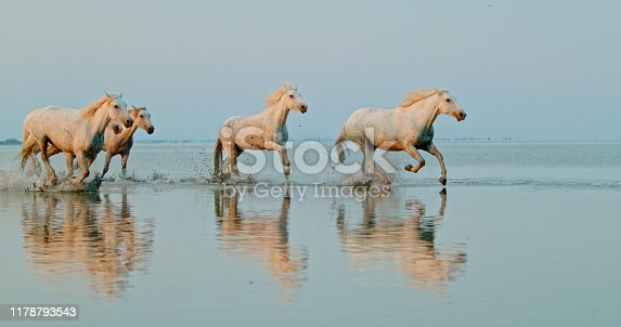 Five running white horses reflecting in sea water, Provence, France