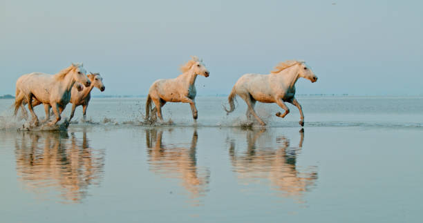 Five white horses running in water stock photo