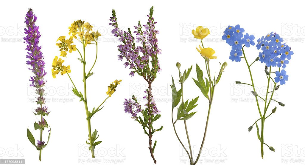five wild flowers isolated on white stock photo