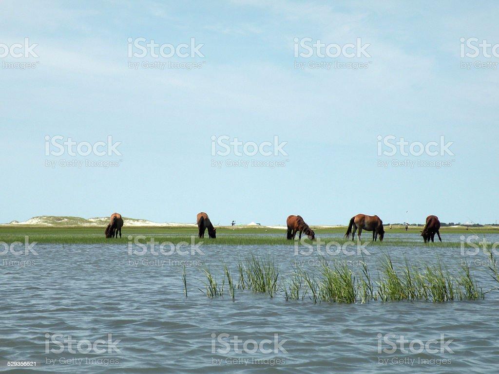 Five Wild Horses of North Carolina Coast stock photo
