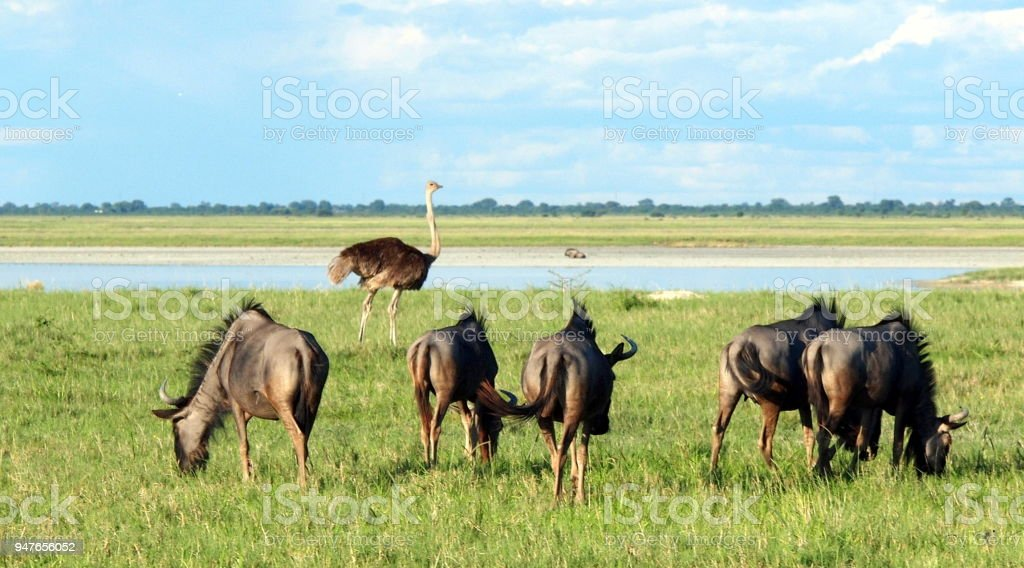 Five wildebeest grazing in African savanna near water source with ostrich walking nearby stock photo