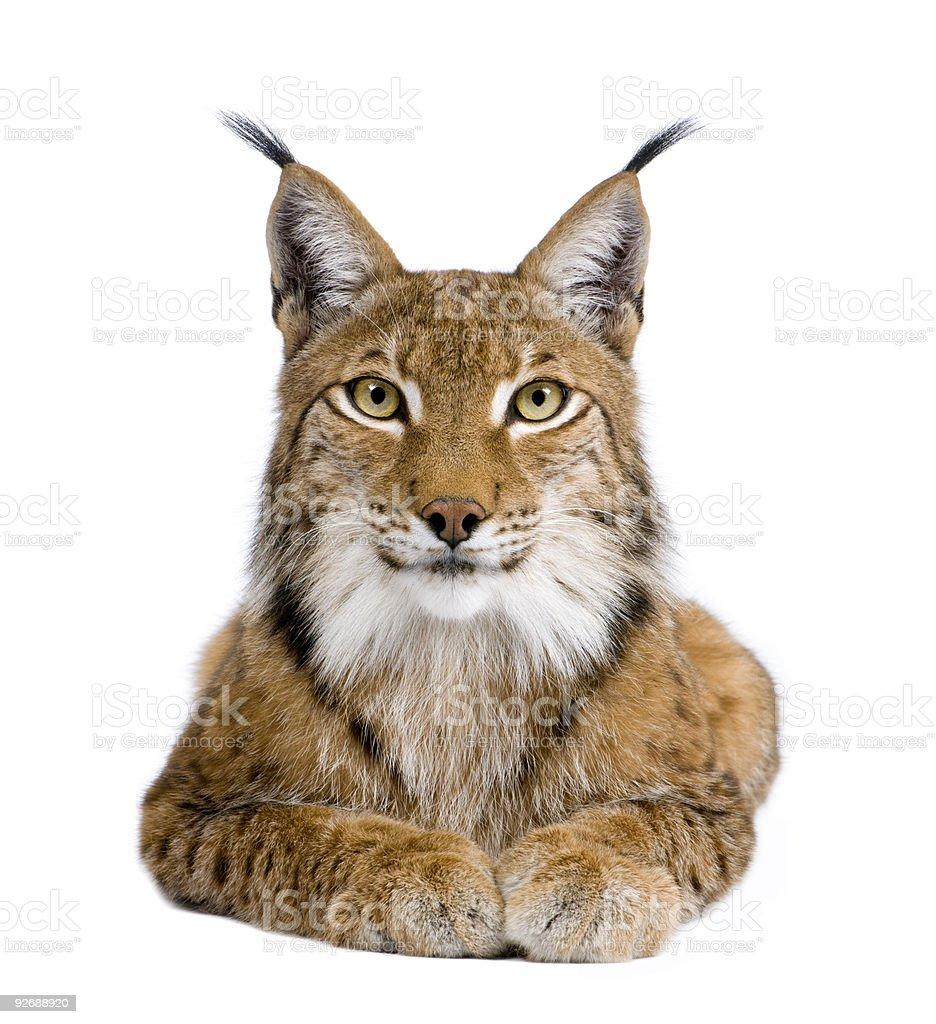Five year old Eurasian lynx on white background royalty-free stock photo