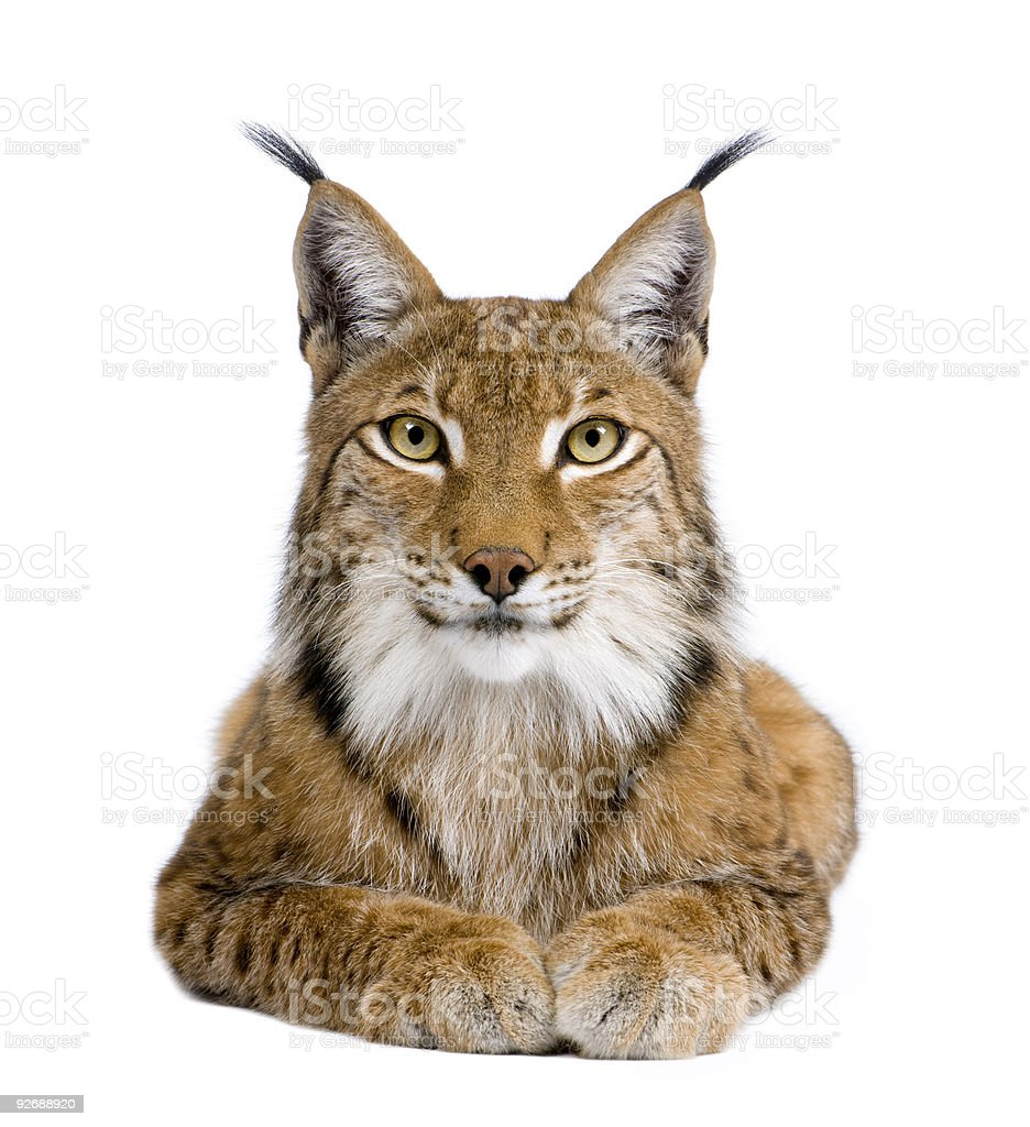 Five year old Eurasian lynx on white background stock photo