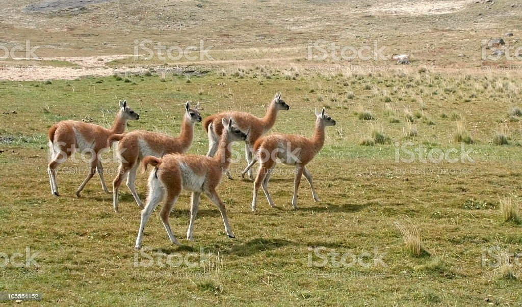 Five young guanacos in Patagonia stock photo