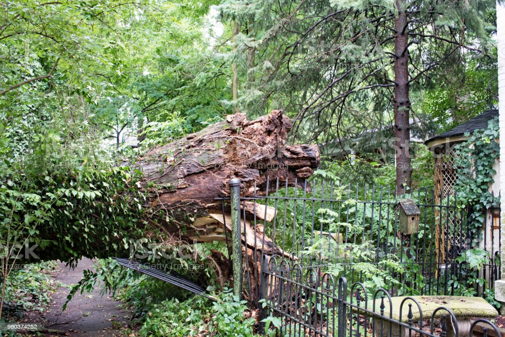 Five-Foot-Wide Tree Downed in Storm stock photo