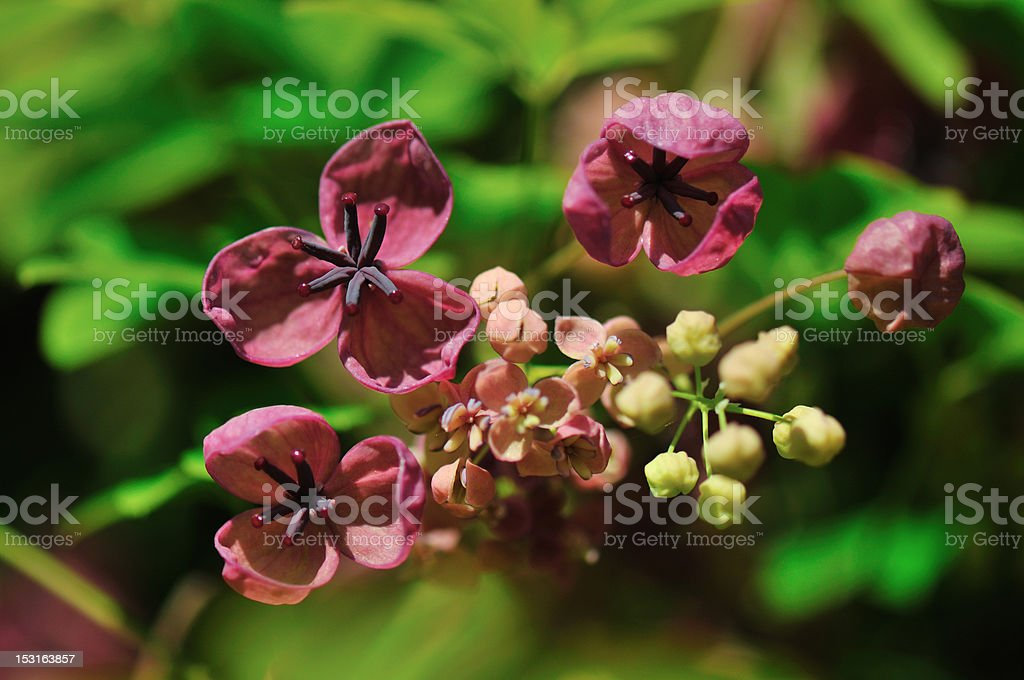 Five-leaf Akebia five-leafed, Chocolate vine  akebia quinata flowers and buds Bud Stock Photo