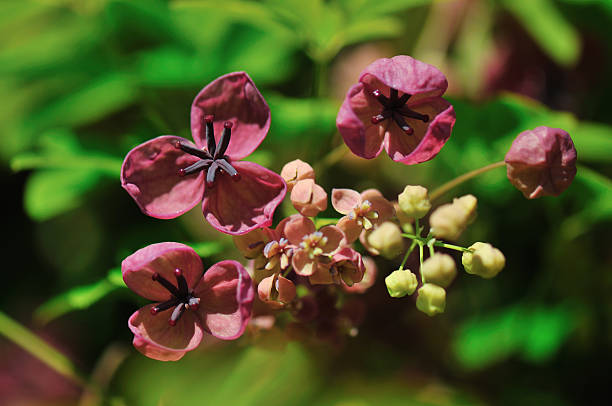 Five-leaf Akebia stock photo
