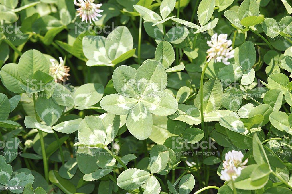 Five-leaf clover stock photo