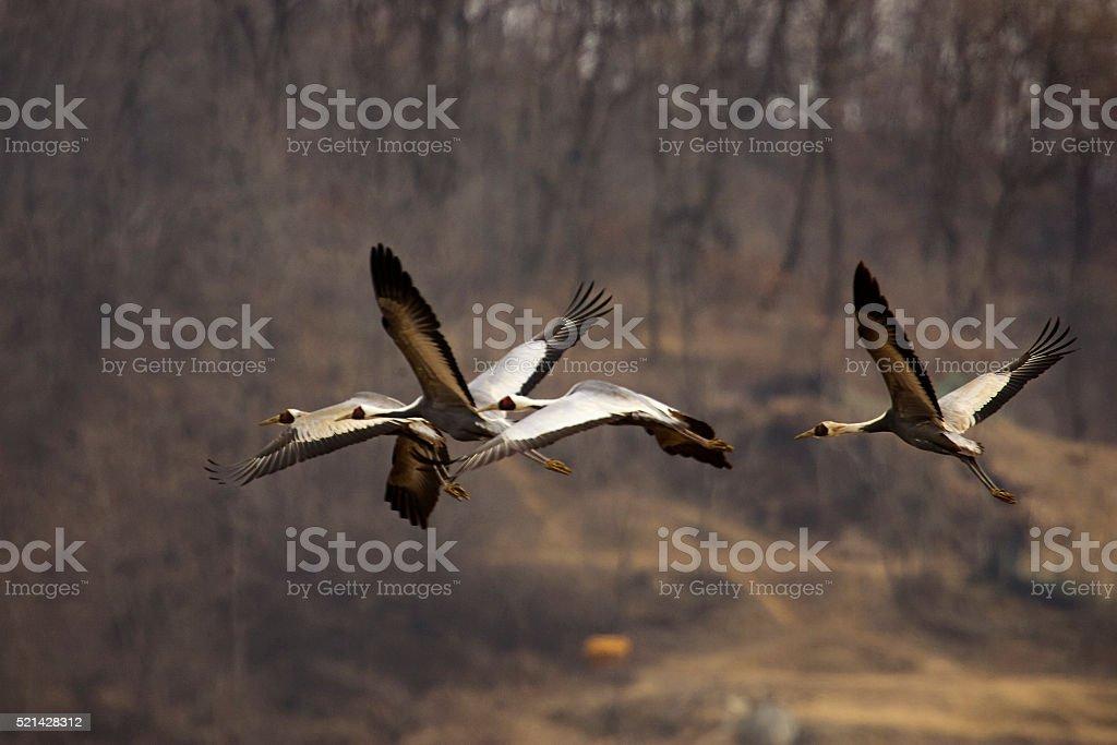 fiying crane stock photo