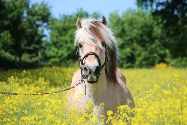 fjord horse is standing in a rape field beautiful fjord horse head portrait in the rape seed field pony stock pictures, royalty-free photos & images