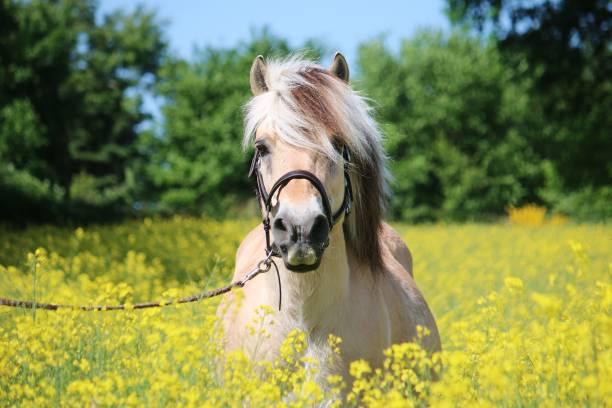 Fjord-Pferd steht in einem rapsfeld – Foto