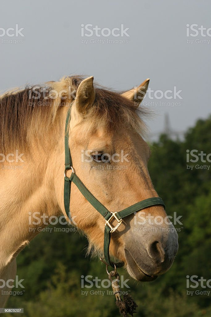 Fjord Horse Stock Photo Download Image Now Istock