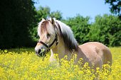 beautiful fjord horse is standing in a rape seed field in the sunshine