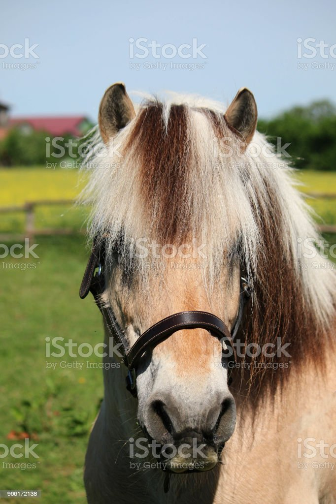 Fjord Horse Portrait Stock Photo Download Image Now Istock
