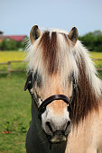 beautiful fjord horse head portrait on the paddock