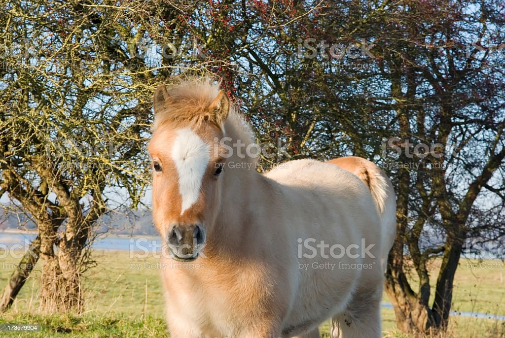 Fjord Horse with Foal foto
