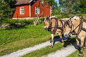 Fjord Horses at a red cottage in the countryside