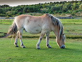 Norwegian Fjord horse grazing on the West Frisian island of Vlieland, Netherlands