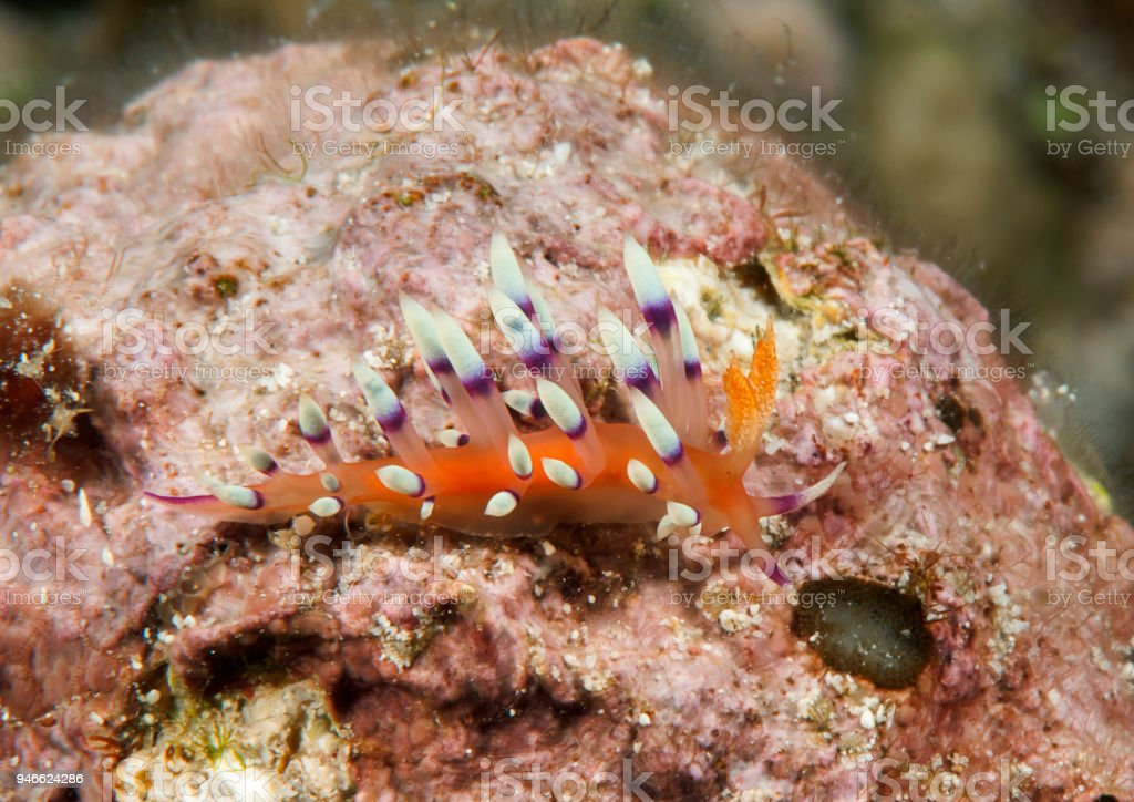 Flabellina exoptata  nudibranch crawls on coral of Bali stock photo