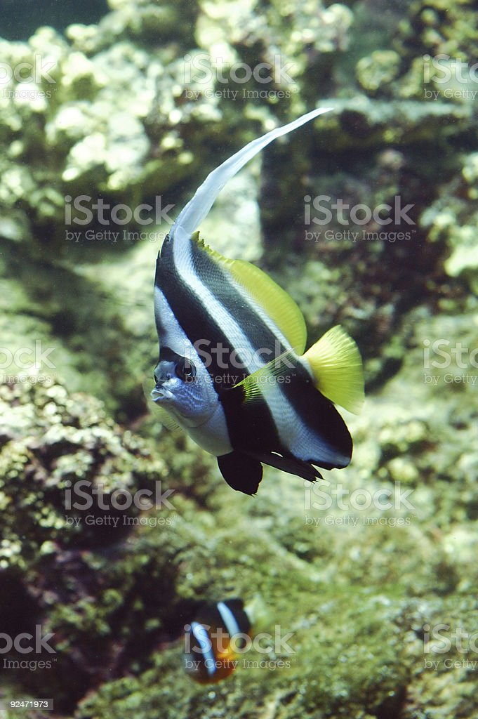 Flag fish royalty-free stock photo