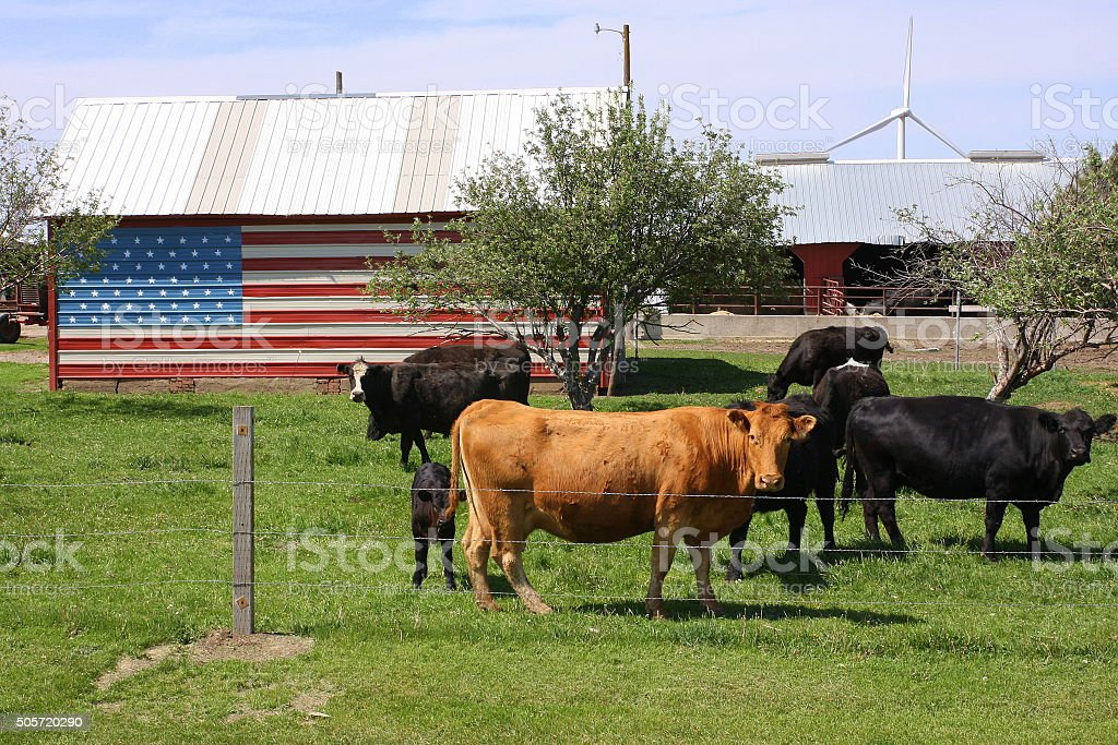 Flag Shed Accents Iowa Cattle Pasture stock photo