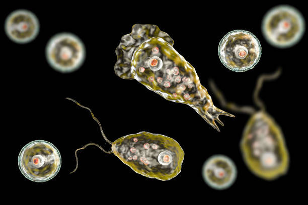 Flagellate form of the parasite Naegleria fowleri stock photo