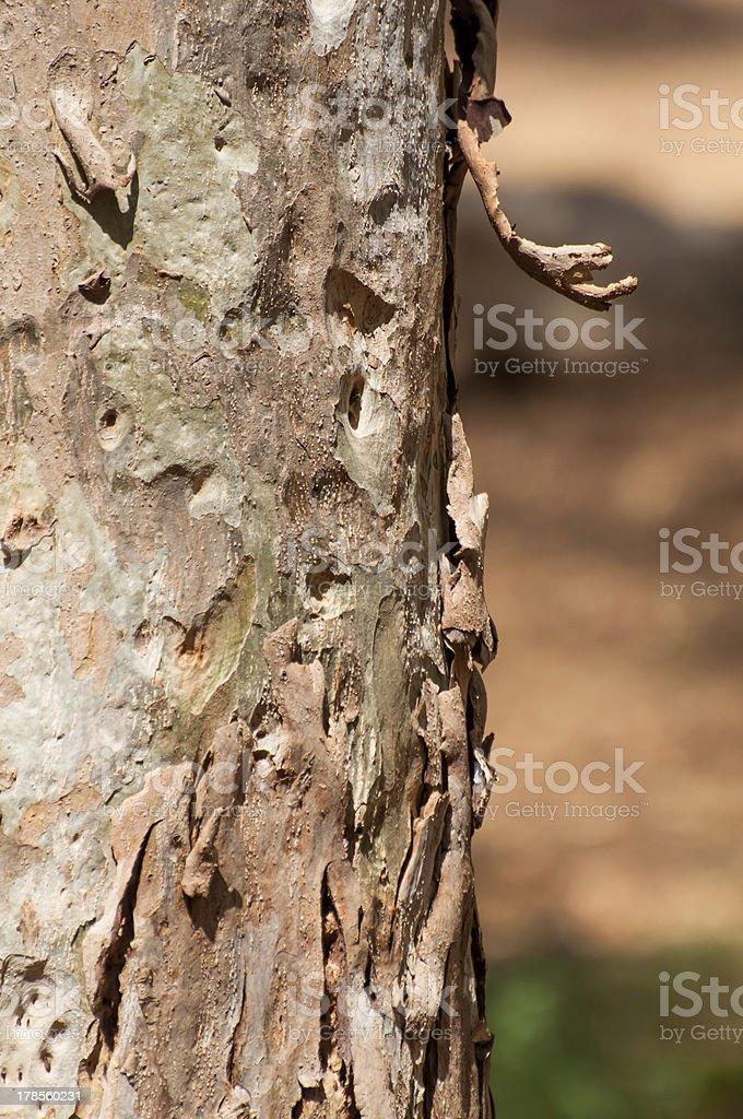 Flakey tree bark royalty-free stock photo