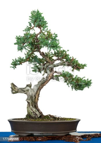 White isolated old flaky juniper (Juniperus squamata) as bonsai tree