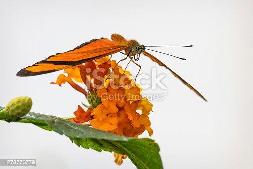 istock Flambeau Butterfly 1278770779