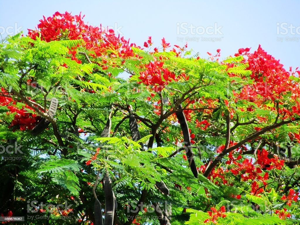 Flamboyant In Kenya Africa Flame Tree With Pods Stock Photo & More ...