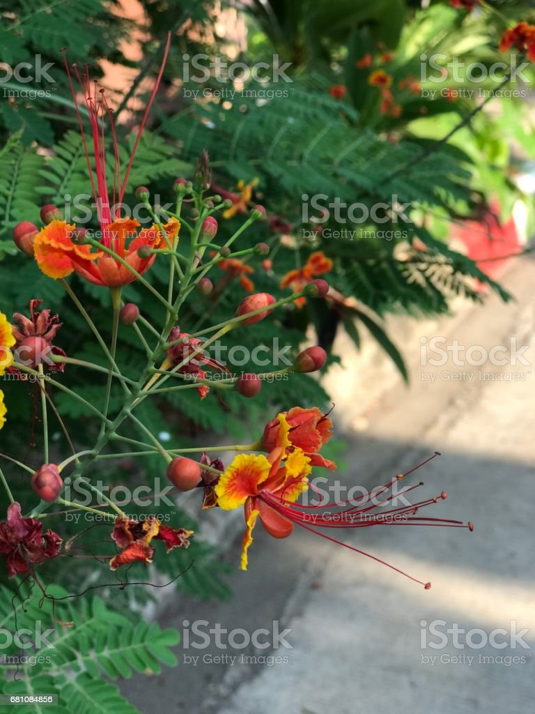 Flam-boyant or The Flame Tree or Peacock flower. royalty-free stock photo