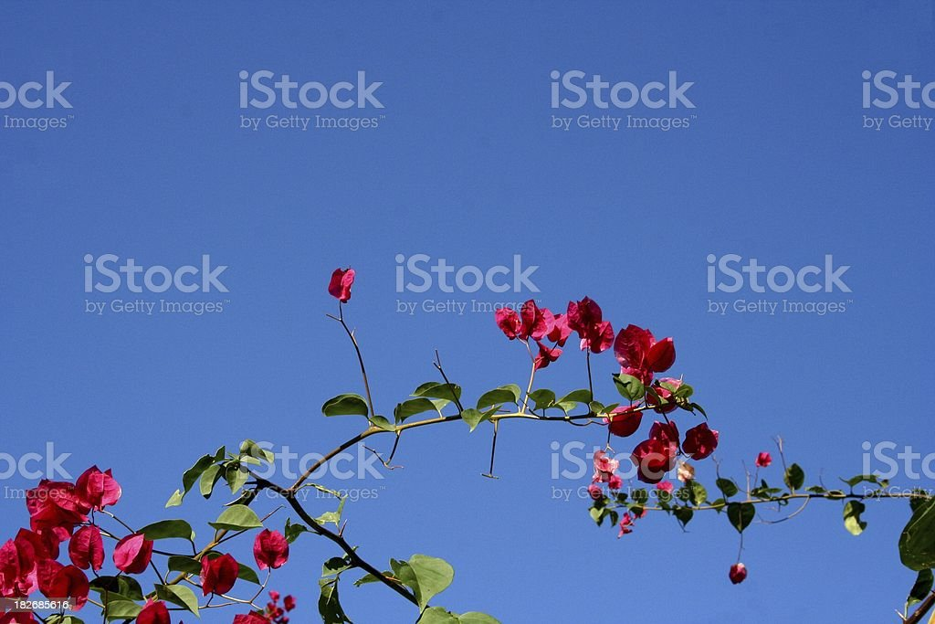 Flamboyant vine royalty-free stock photo