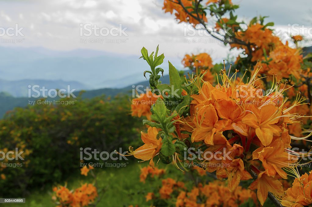 Flame Azalea Close Up stock photo