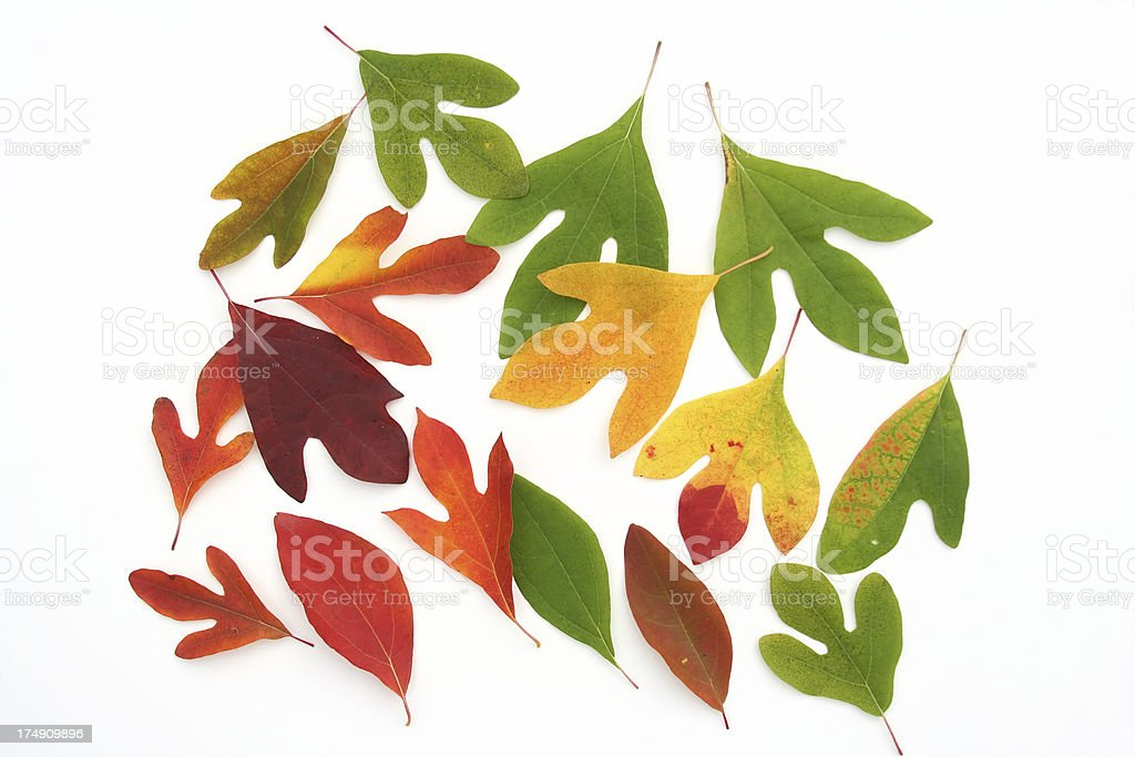 Flame Colored Sassafras Leaves Autumn Foliage royalty-free stock photo