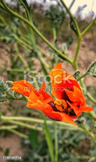 orange wild flower resembling flame in front of green background