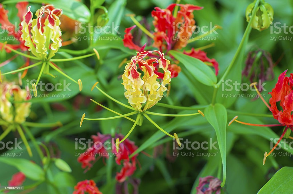 Flame lily royalty-free stock photo