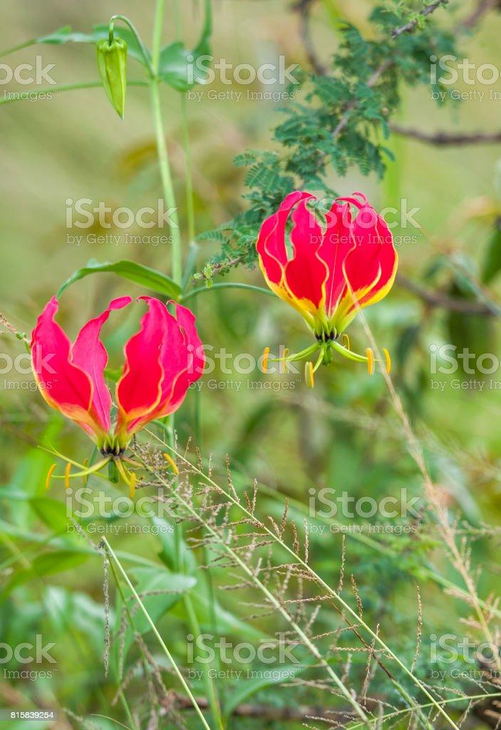 Flame Lily Of Tamil Nadu Masi Mara Kenya Africa Stock Photo More