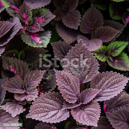 Flame nettle leaves decoration in the garden
