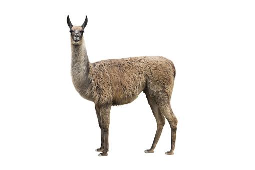 lama isolated on white background