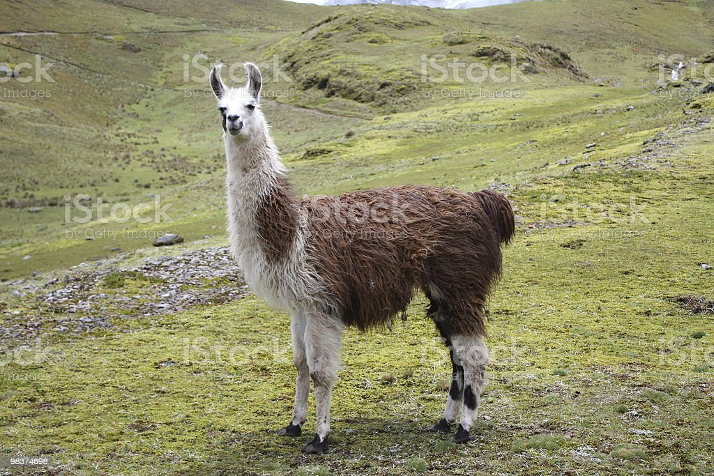 Lama foto stock royalty-free