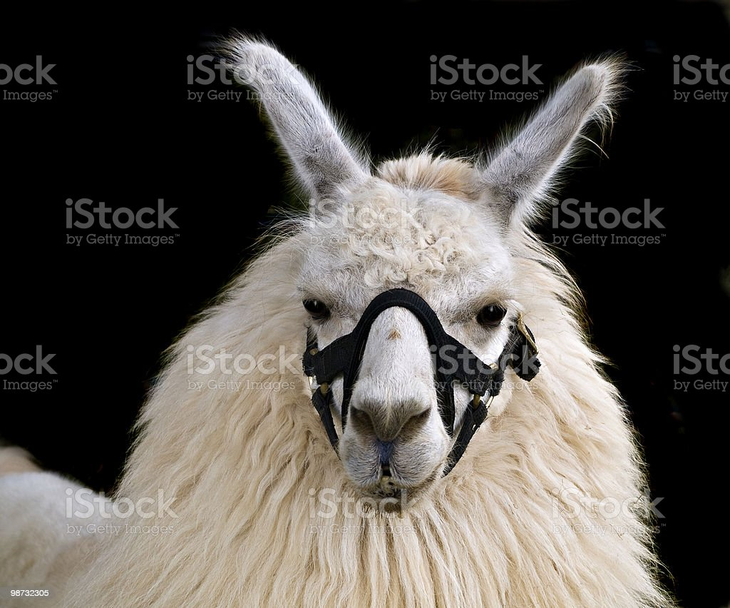 Llama royalty-free stock photo